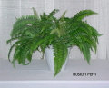 Rental store for BOSTON FERN in State College PA