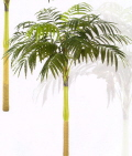 Rental store for PALM TREE, COCONUT - 9  TALL in State College PA